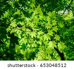 Small photo of Close-up of maple trees at sunny day in summer. Maple trees are classified in the genus Acer in the Maple family (Aceraceae).