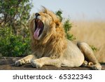 Lonely Yawning Lion Rest Upon...