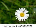 Fly On A Daisy Flower. Slovakia