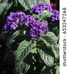 The Lovely Deep Purple Flowers...