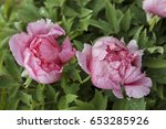 Two Pink Peonies On The...
