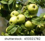 apple tree branch with green...   Shutterstock . vector #653321782