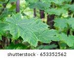 maple  | Shutterstock . vector #653352562