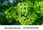 Small photo of Green maple trees at sunny day in summer. Maple trees are classified in the genus Acer in the Maple family (Aceraceae).