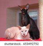 sphynx and peterbald portrait | Shutterstock . vector #653492752