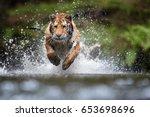 Siberian Tiger Panthera Tigris Altaica - Fine Art prints