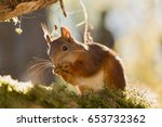 close up of  red squirrel... | Shutterstock . vector #653732362
