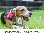 Stock photo cute puppy breed beagle dog on a natural green background tropical island bali indonesia 653756992