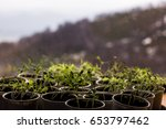 Small photo of Green sprout growing in the pots,shoots of wheat, new or start or beginning concept