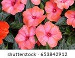 guinea flower | Shutterstock . vector #653842912
