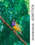 Small photo of Beautiful birds Guldova Amadina (Erythrura gouldiae) sitting on a close-up branch