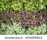 Small photo of Beautiful lines of alternanthera sessilis / alternanthera paronichyoides, groundcover / ground cover plants for background or texture.