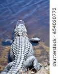 Small photo of American alligator (Alligator) basking in the sun on the edge of a wetland area