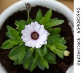 Small photo of Osteospermum blooming in flower pot. Top view of beautiful african daisy.