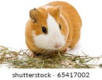 Guinea Pig Eating Hay On The...