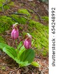the rare showy lady's slipper ...   Shutterstock . vector #654248992