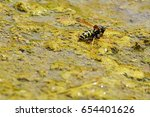 Small photo of Common wasp Vespula Vulgaris drinking water from algoid puddle made next to public fountain