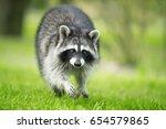 Small photo of Raccoon gargle splashing in the pond