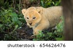 a 5 week old baby lion cub in... | Shutterstock . vector #654626476