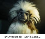 Oedipus Tamarin. Portrait Of A...