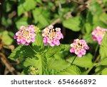 lantana | Shutterstock . vector #654666892