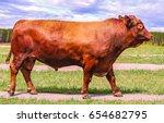 Red Angus Bull Grazing On Farm...
