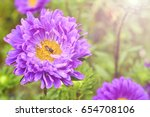 Asters Bloom In The Garden....