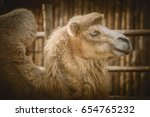 Close Up Portrait Of Camel Ove...