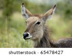 portrait of a grazing young... | Shutterstock . vector #65478427