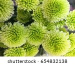 Beautiful Green Chrysanthemum...