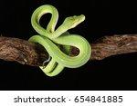 Green Tree Python