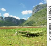 tobacco harvest  vinales valley ... | Shutterstock . vector #65488201