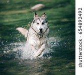 Small photo of Dog running fast in splashed water. Alaskan malamute