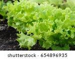 Healthy Lettuce Growing In...