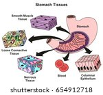 stomach tissues types and... | Shutterstock .eps vector #654912718