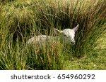 Sheep Resting Tall Grass