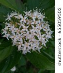 Small photo of White blossom of Red Osier Dogwood. Other names include Red Willow, Redstem Dogwood, Red-Rood, American Dogwood, and Western Dogwood. State Washington.