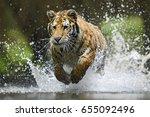 tiger   panthera tigris | Shutterstock . vector #655092496