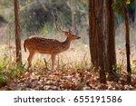 beautiful axis deer in the... | Shutterstock . vector #655191586