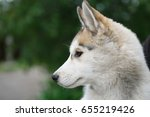 Small photo of Portrait of purebred Siberian husky.Hunter dog with long silver fur coat.Domestic wolfling cub.Good friend for family & kids.