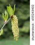 Small photo of Alnus viridis subsp. viridis