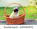 Stock photo happy cute pug 655434952