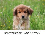 Stock photo brown border collie puppy in the garden 655472992