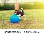 Stock photo young beagle playing in garden 655483012