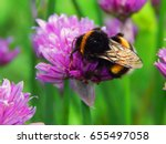 Large fluffy bumblebee closeup. Background with a bumblebee pollinating lilac onion flowers.