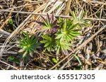 the first spring sprouts | Shutterstock . vector #655517305