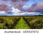 Stock photo bulgarian rose field at sunset rosa damascena shot near karlovo bulgaria 655537072
