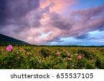 bulgarian rose field at sunset  ... | Shutterstock . vector #655537105