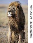 Majestic male lion with large golden mane gazing into the horizon, Serengeti National Park, Tanzania, East Africa - stock photo