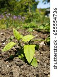Small photo of Young Jerusalem Artichoke plants growing in an allotment garden